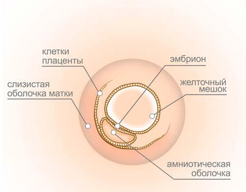 3 неделя беременности - ощущения в животе и что происходит с плодом