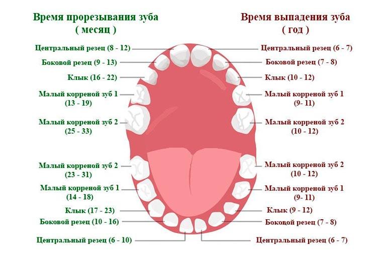 сроки прорезывания зубов у ребенка