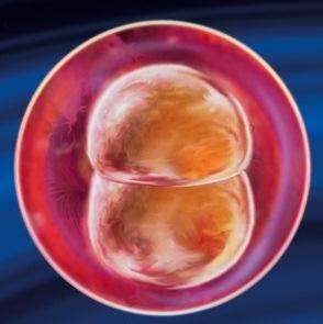 2 неделя беременности от зачатия