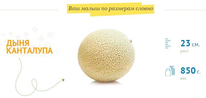 размер-плода-на-26-неделе-беременности